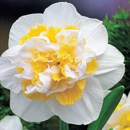Top 25 most beautiful daffodil flowers white lion daffodils mightylinksfo