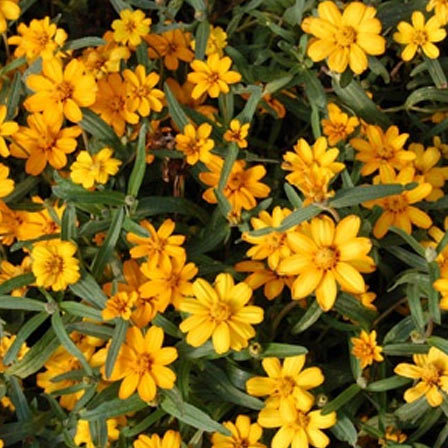 zinnia angustifolia star gold