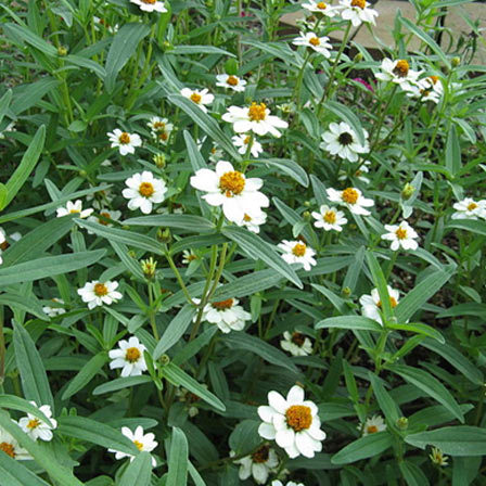 zinnia angustifolia star white