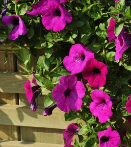 Top 15 Most Beautiful Morning Glory Flowers