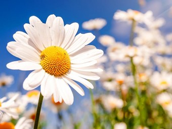 6928-most-beautiful-daisy-flowers