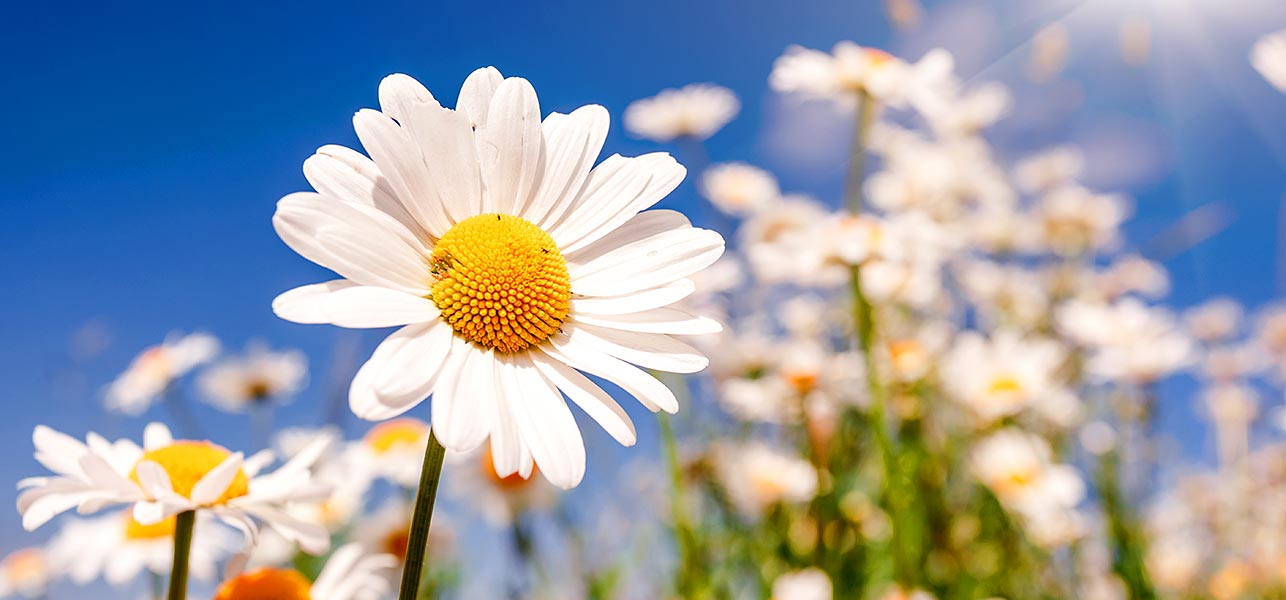 top  most beautiful daisy flowers, Beautiful flower