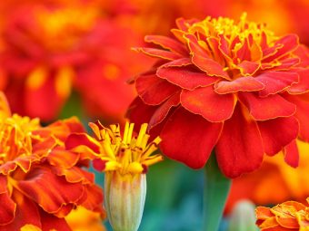 6930-beautiful-marigold-flowers