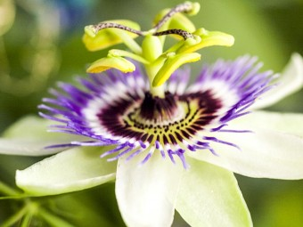 6931-beautiful-passion-flowers