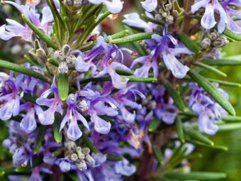 6932-most-beautiful-rosemary-flowers