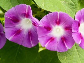 6933-beautiful-morning-glory-flowers