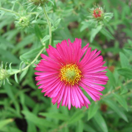 Top 15 most beautiful aster flowers alma potschke pinit mightylinksfo