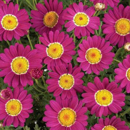 Argyranthemum Angelic Dark Pink
