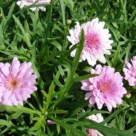 Argyranthemum Frutescens Summer Melody