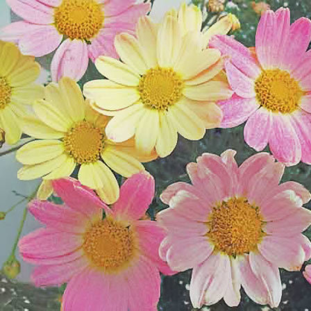 Top 25 most beautiful daisy flowers argyranthemum frutescens comet pink pinit mightylinksfo