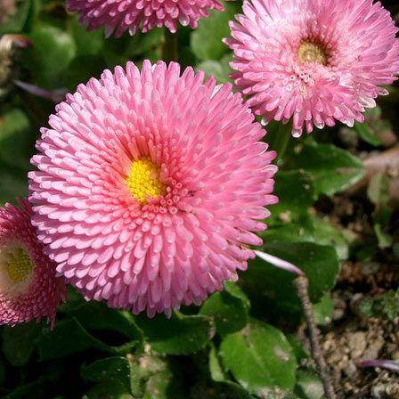 Bellis Perennis Bright Carpet Mix