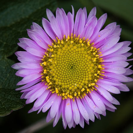 Big Purple Aster