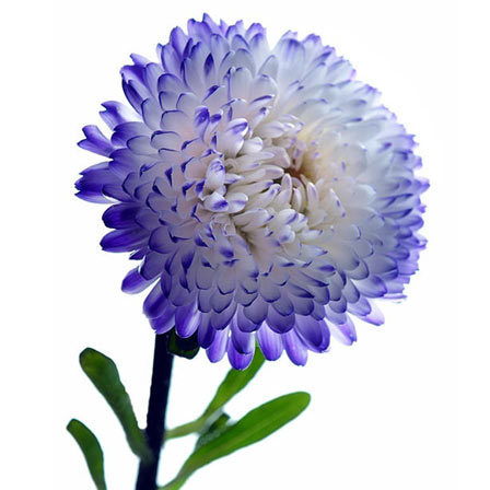 top  most beautiful aster flowers, Beautiful flower