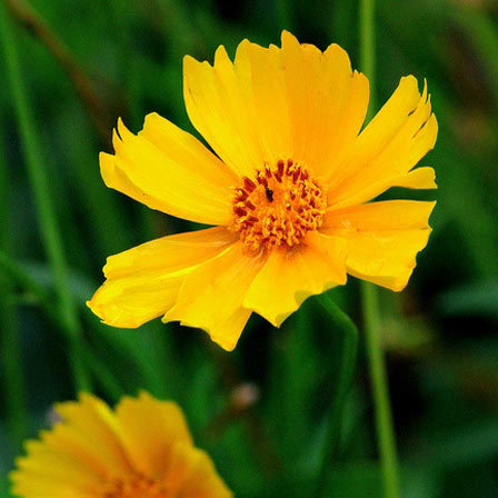 Bright Yellow Aster