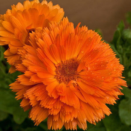 calendula officinalis bon bon orange