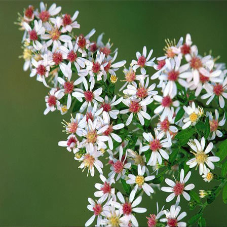 Top 15 most beautiful aster flowers calico aster pinit mightylinksfo
