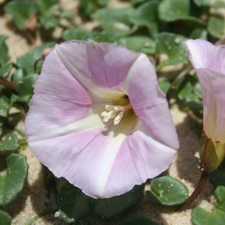 Convolvulus Arvensis Morning Glory Flowers