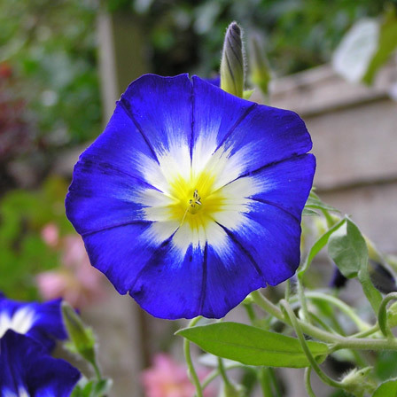 Top 15 most beautiful morning glory flowers convolvulus morning glory pinit mightylinksfo