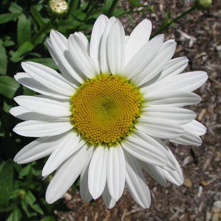 Daisy Snowcap