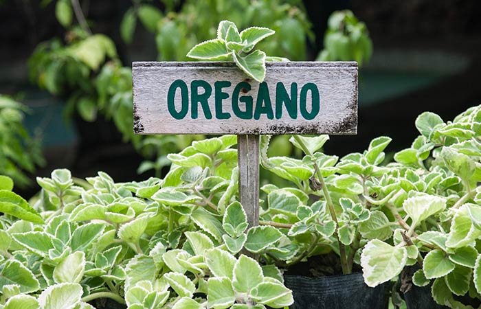 How To Pick And Store The Best Oregano