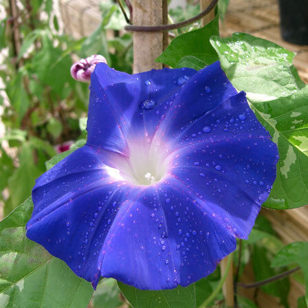 Ipomoea Nil or Ivy Morning Glory
