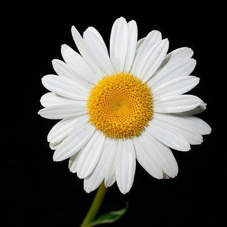 Leucanthemum X Superbum Daisy May