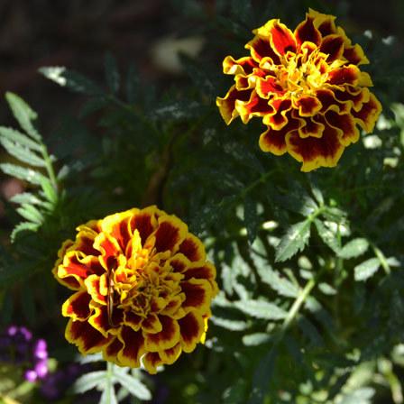 marigold colossus