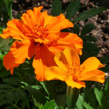 marigold mr.majestic double