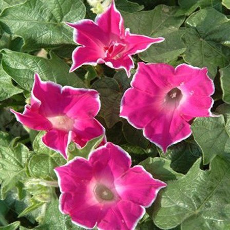 Morning Glory Red Picotee