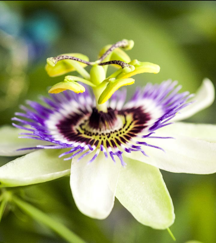 Top 10 most beautiful passion flowers most beautiful passion flowers mightylinksfo