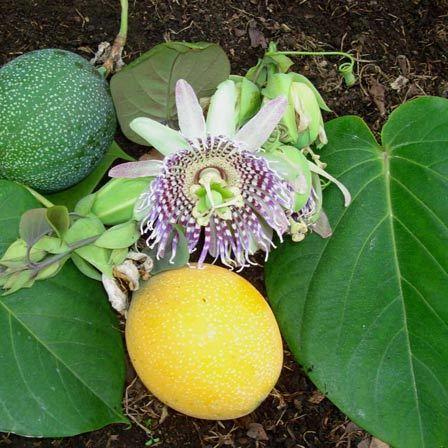 Passiflora Ligularis Granadilla