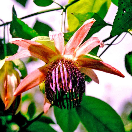 Passiflora Purple Tiger