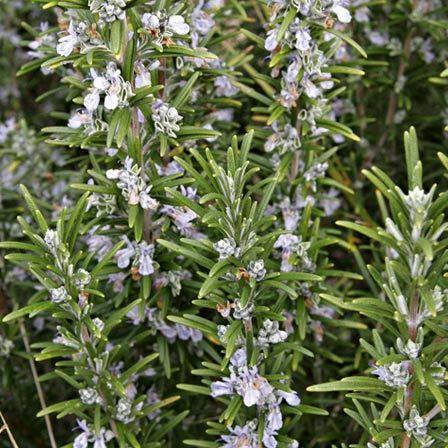 rosmarinus officinalis benenden blue