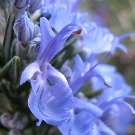 rosmarinus officinalis tuscan blue