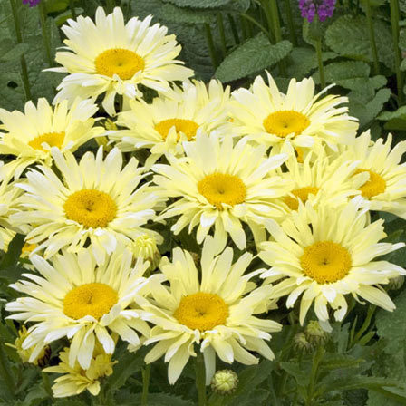 Shasta Daisy Banana Cream