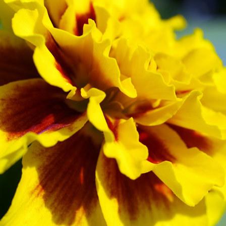 tagetes patula aurora light yellow