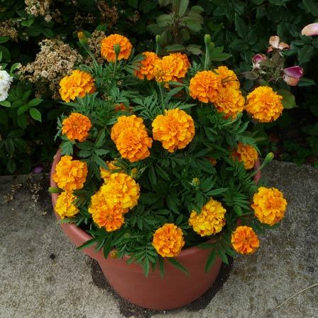 tagetes erect antigua orange