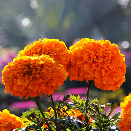 tagetes erect discovery orange