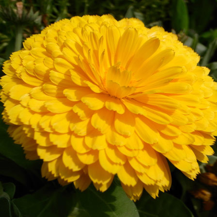 tagetes erect inca yellow