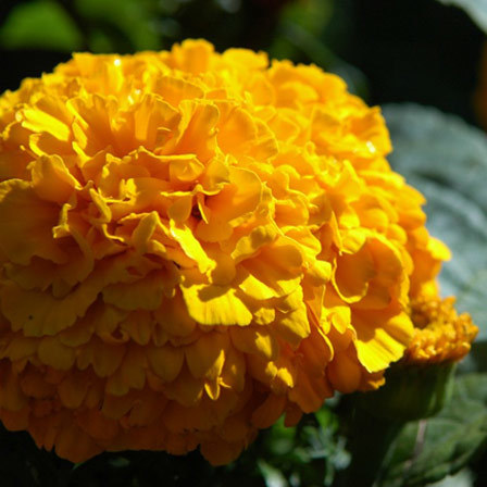 tagetes erecta moonstruck series