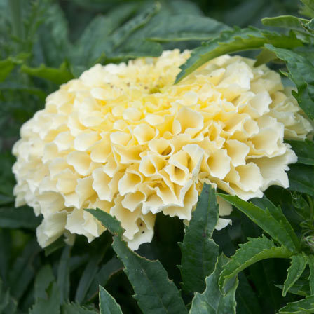 tagetes erecta sweet cream