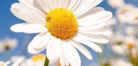 Top-25-Most-Beautiful-Daisy-Flowers