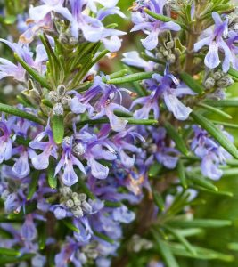 Top 25 Most Beautiful Rosemary Flowers