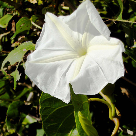 White Dwarf Morning Glory Flowers