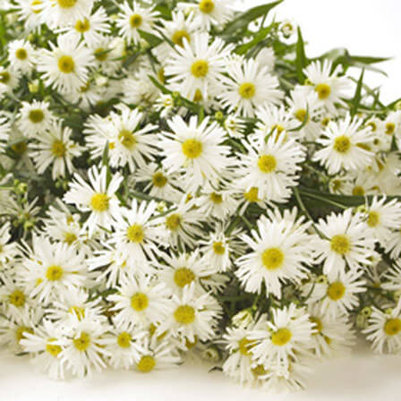 Top 15 most beautiful aster flowers white monte casino mightylinksfo