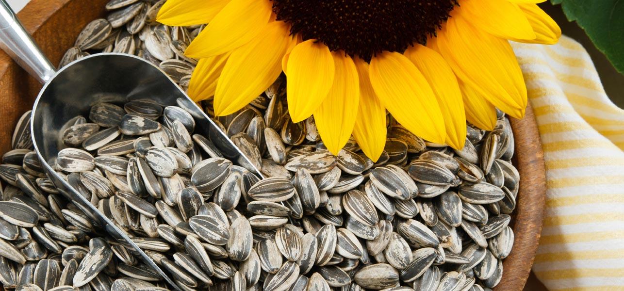 34-Amazing-Benefits-Of-Sunflower-Seeds-(Surajmukhi-Ke-Beej)-For-Skin,-Hair,-And-Health