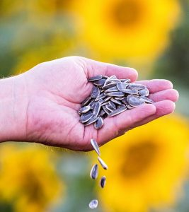 7 Benefits That Make Sunflower Seeds A Healthy Snack