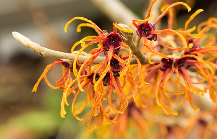 9.-Witch-hazel