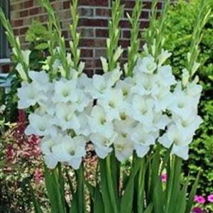 alaska gladiolus