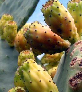5 Amazing Health Benefits Of Saguaro Fruit